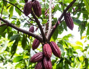 lydgate farms chocolate tour