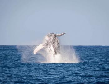 humpback whale watching on kauai