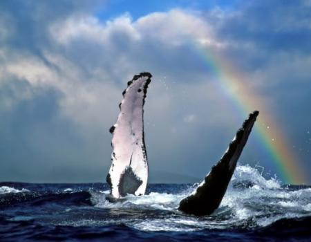 Whale Watching with Rainbows in Kauai