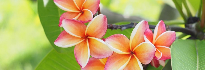 Kauai Plumeria Flowers