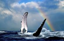 whales in hawaii in front of rainbow